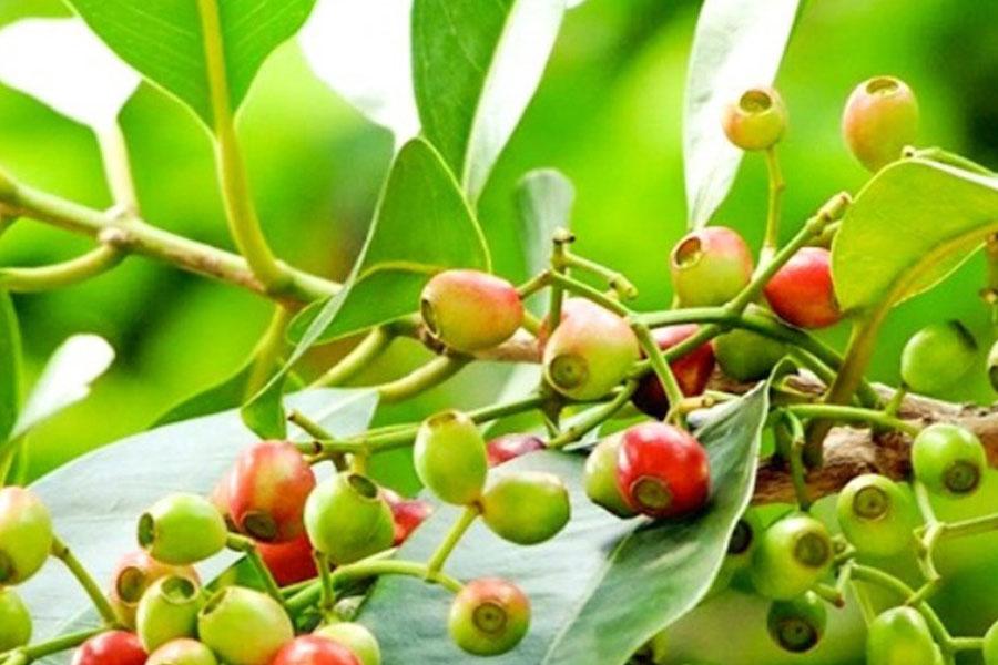 Lá vối là loại lá thông dụng ở vùng nông thôn, người ta thường dùng nó hãm và uống tương tự nước trà